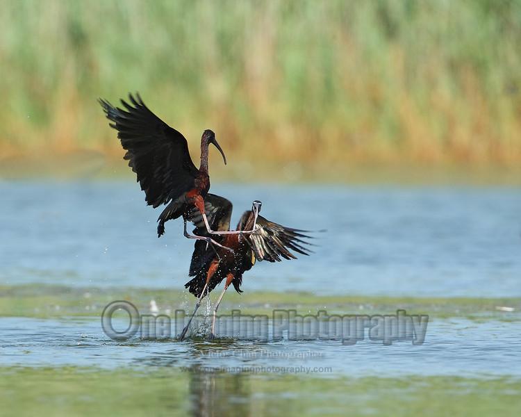 ibisfights copy