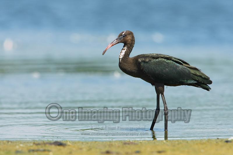 ibis2 (2) copy