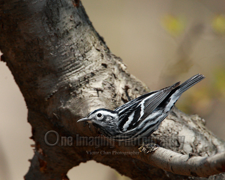 blackwhitewarbler1 copy