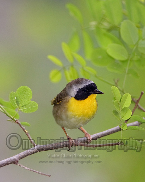 maleyellowthroat copy