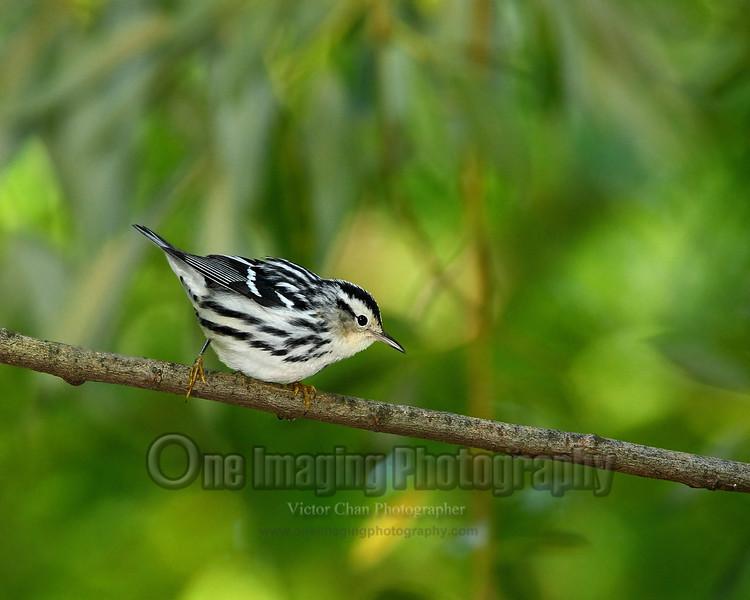 blackwhitewarbler (2) copy
