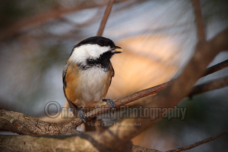chickadee copy