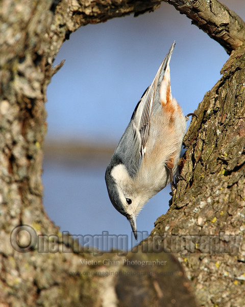 nuthatch1 copy