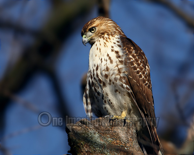 redtail copy