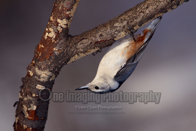 nuthatch3 copy