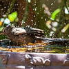 Robin in Birdbath 01