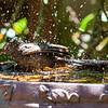 Robin in Birdbath 01