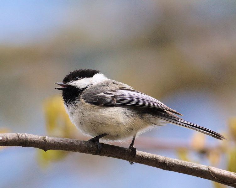 Black Capped Chickadee in Maple Tree