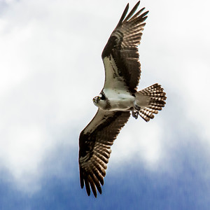 Osprey, female, Chesapeake Bay, MD 3