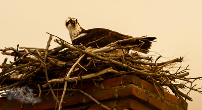 Osprey at Nest, female, Chesapeake Bay, MD 2
