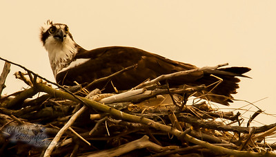 Osprey at Nest, female, Chesapeake Bay, MD