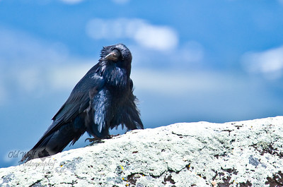 Curious Raven, Little America, Yellowstone