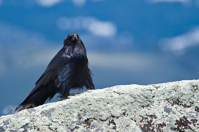 Curious Raven, Little America, Yellowstone 2