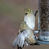 Goldfinch fight