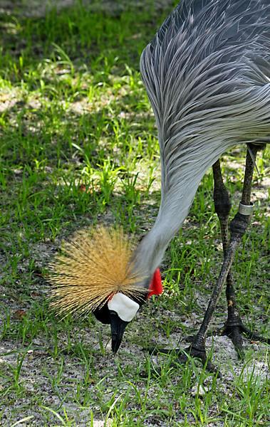East African Crown Crane