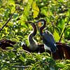 Female Anhinga & Juvenile Tricolor Heron
