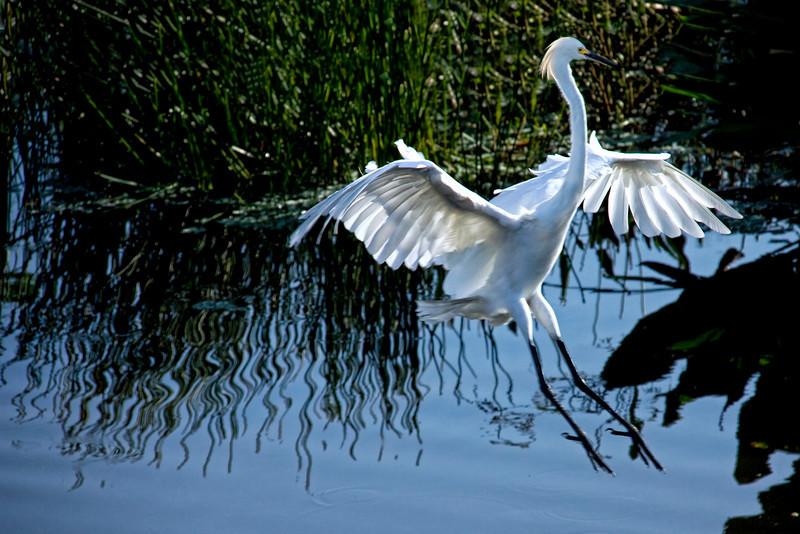 Snowy Egret / Great Egret