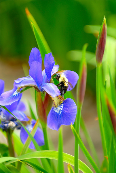 Carpenter bee with Iris.