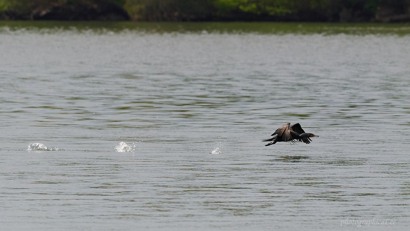 Double Crested Cormorant launching