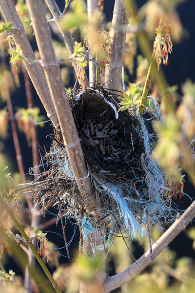 Bird's nest in tree by canal, Lowell 042116