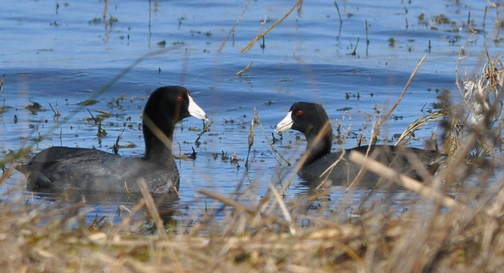 A couple of coots were cruising slowly along the edge of the shoreline.  At intervals, they dived to get vegetation to eat.  They were unhurried and seemed to be enjoying each other's company.