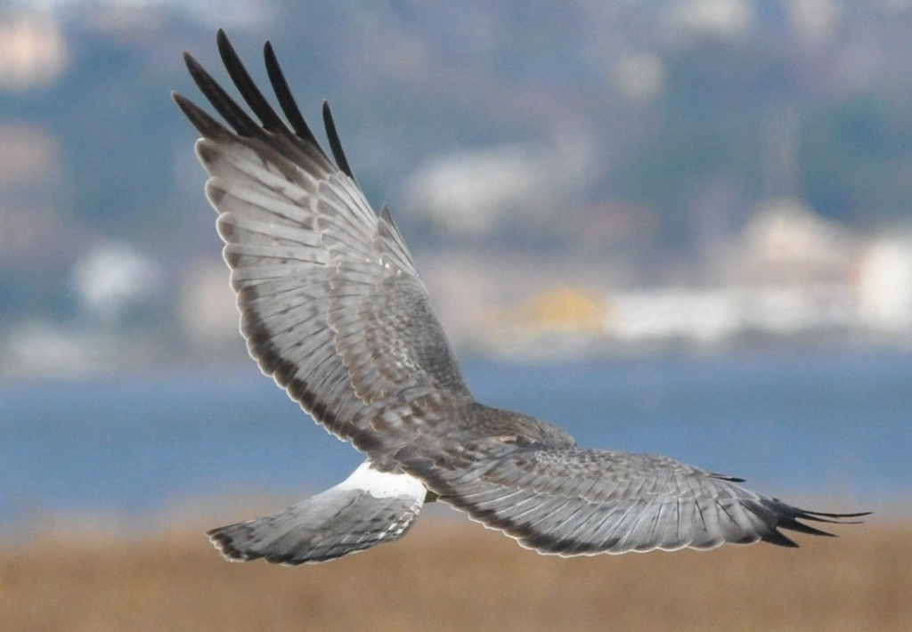 "a male Northern Harrier in flight.<br /> <br /> As I was about to leave the Martinez Shoreline Park, this harrier flew right over me.  I had the monopod attached to the lens and the lens was set to manual focus.  It was a struggle to a a shot in focus.  Not perfectly sharp but I think it gives a fine sense of this bird in flight.<br /> <br /> Be sure to view the picture at full size. (Click on the image and then click on ""O"" about the image that appears."