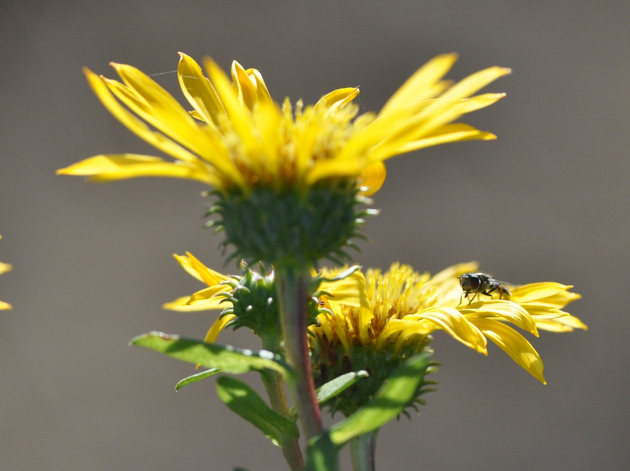 Another grindelia picture.<br /> <br /> Take wildflower pictures and you get insects.  In this case, a fly.  Nobody is intimidated by winter in the Bay Area.
