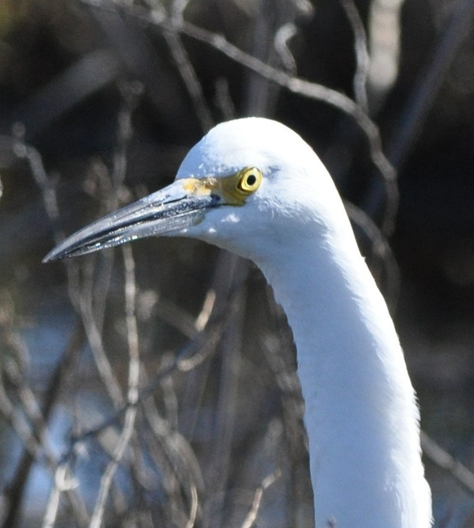 In this photo the Snowy Egret looks rather goggle-eyed.  My previous outing with this lens produced pictures of a Black Crowned Night Heron's reddish eye so I kept this photo for comparison.