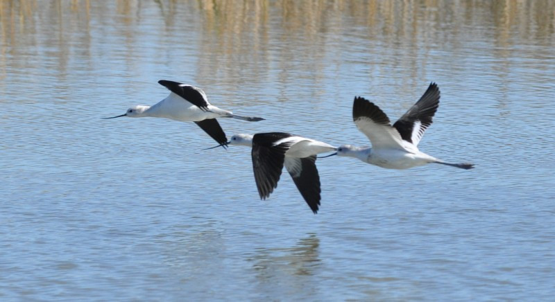 This group of avocets flew by as I was looking over a canal that runs from the bay through the Martinez Shoreline.  I wasn't expecting them and I wasn't set up to take a birds in flight picture.  Nice scene though.