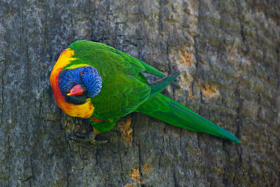 Lorikeet clinging to a tree trunk