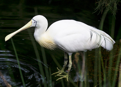 Yellow-billed Spoonbill, another look