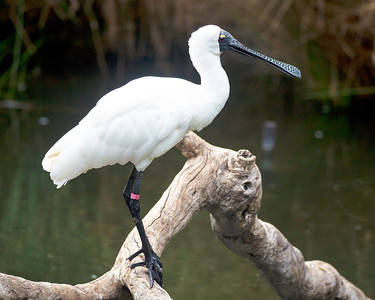 Royal Spoonbill looking right