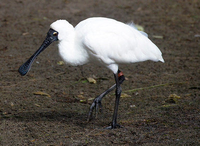 Royal Spoonbill looking left