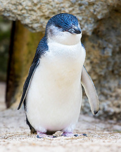 Little Penguin standing up straight