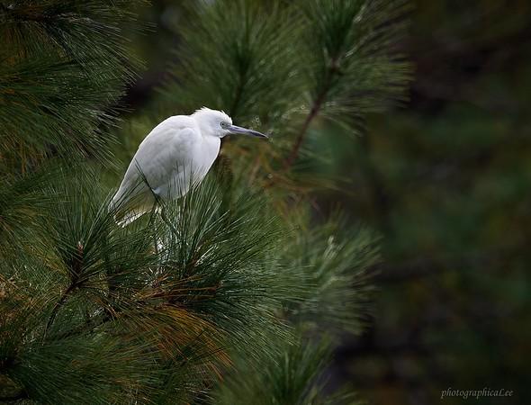 Little Blue Heron - immature