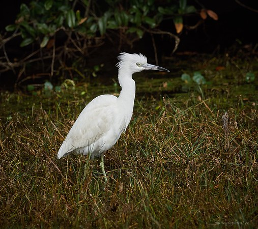 Little Blue Heron - immature