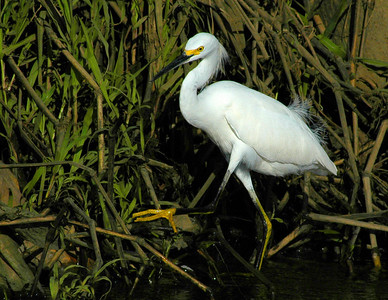 Snowy Egret walking through the shallows along the river's edge looking for food - Costa Rica  ©Gerald Diamond All rights reserved