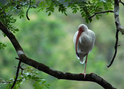 The Ibis is seen in many locations along Costa Rica's rivers.  It is so photogenic it is hard to stop photographing it - Costa Rica, Pacific Coast Forest  ©Gerald Diamond All rights reserved