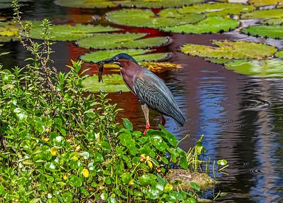 Aguaita caiman-Green heron_Butorides virescens_Las Terrazas_250212_MG_5674