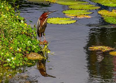 Aguaita caiman-Green heron_Butorides virescens_Las Terrazas_250212_MG_5690