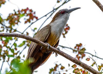 Arriero-Great lizard cuckoo_Coccyzus merlini_250215_MG_2576