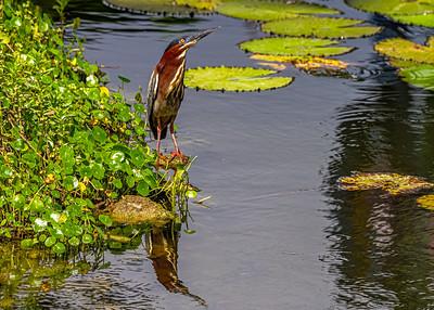 Aguaita caiman-Green heron_Butorides virescens_Las Terrazas_250212_MG_5689