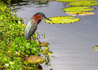 Aguaita caiman-Green heron_Butorides virescens_Las Terrazas_250212_MG_5684