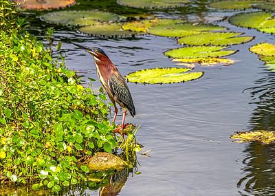 Aguaita caiman-Green heron_Butorides virescens_Las Terrazas_250212_MG_5692