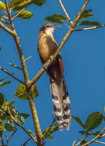 Arriero-Great lizard cuckoo_Coccyzus merlini_231211_MG_4342