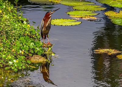 Aguaita caiman-Green heron_Butorides virescens_Las Terrazas_250212_MG_5688