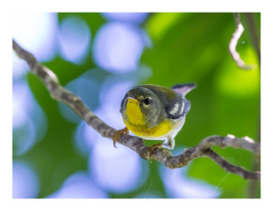 Bijirita chica - Parula americana_DSC4052