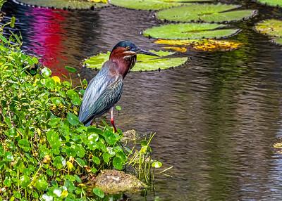 Aguaita caiman-Green heron_Butorides virescens_Las Terrazas_250212_MG_5678