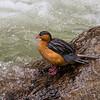 Torrent Duck (female), Guango, Ecuador
