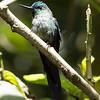 Guango Hummingbird